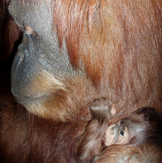 A tiny Sumatran orangutan has been born at Chester Zoo
