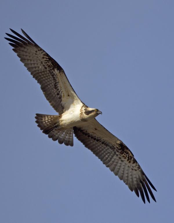 Rare osprey flies in to fish in the Mersey