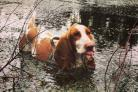 Pops, a Basset Hound from Halton Village in Runcorn is our pet of the week