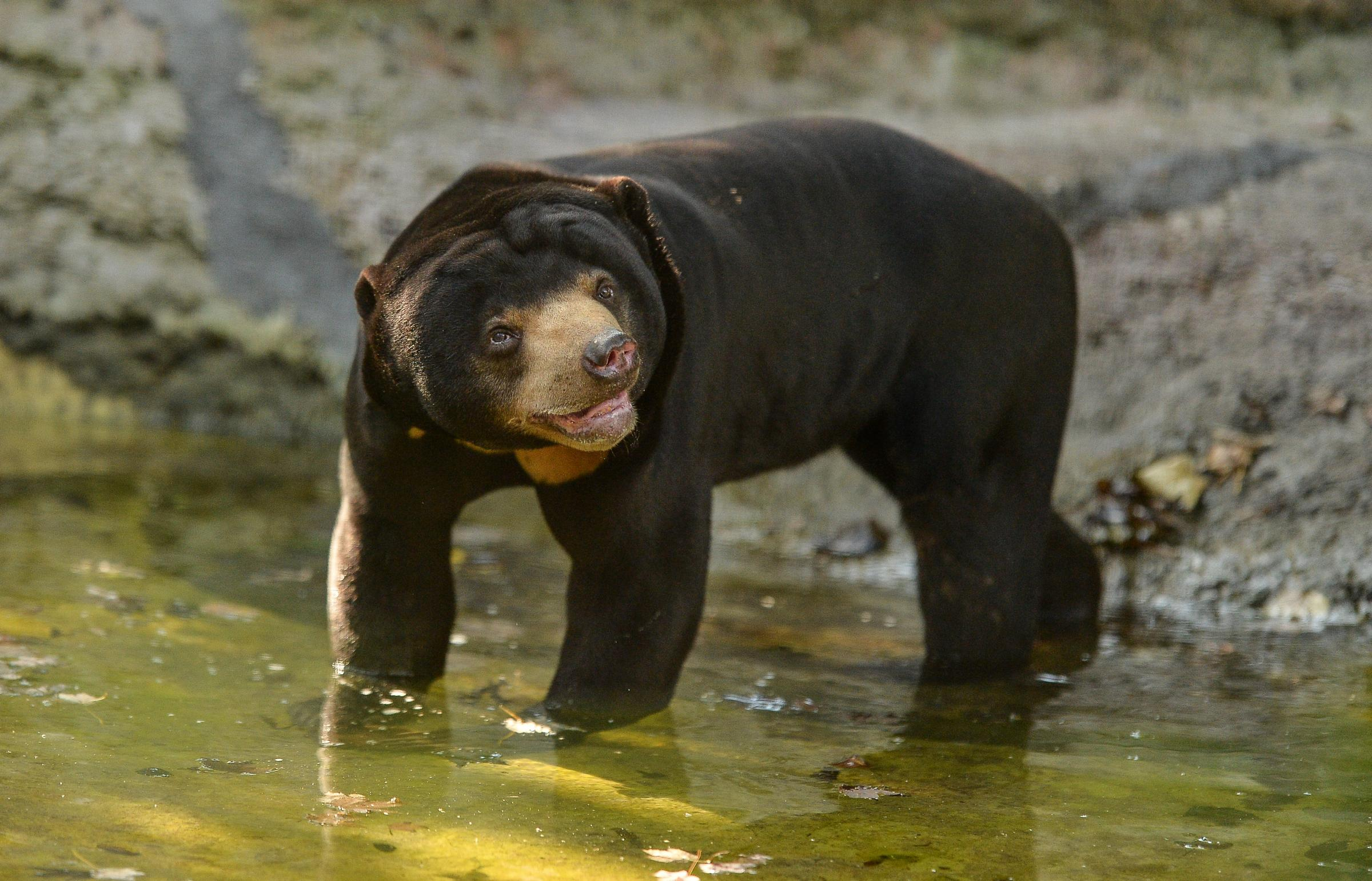 Endangered sun bear Toni will live on the Zoo's new South East Asian Islands.