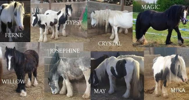 The nine ponies who were rescued by Horse Sense Wirral from Runcorn